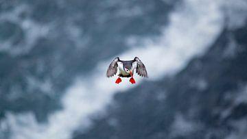 Papageientaucher von Sam Mannaerts