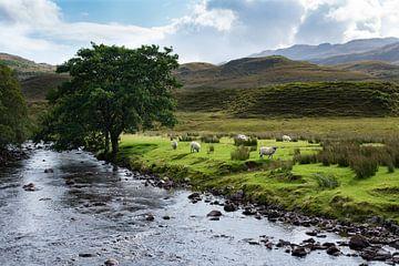 Schapen naast beekje in de Schotse Hooglanden van Cilia Brandts