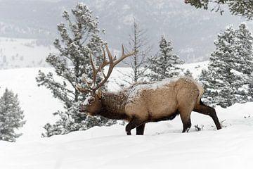 Wapiti ( Cervus canadensis ), im Winter, von Schnee und Eis bedeckt, Yellowstone NP, Wyoming,USA. von wunderbare Erde