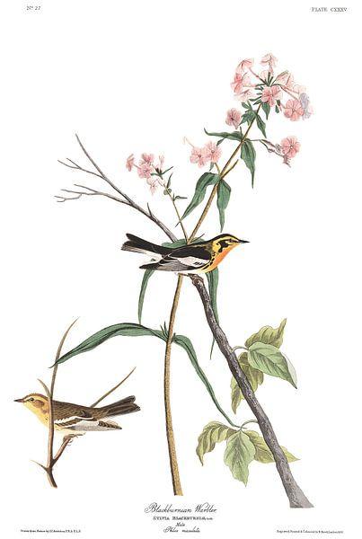 Sparrenzanger van Birds of America