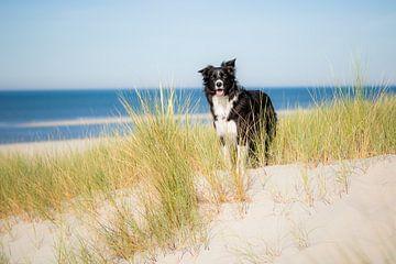 Border Collie in den Dünen | Der treue Hund Fenna von Pieter Bezuijen