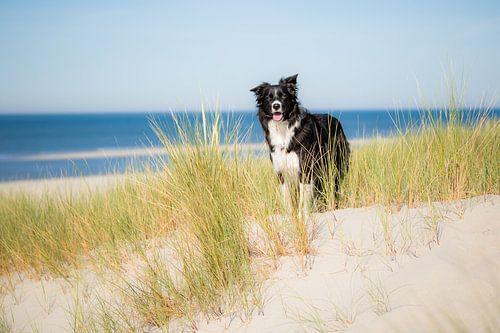 Border Collie in de duinen   Trouwe hond Fenna