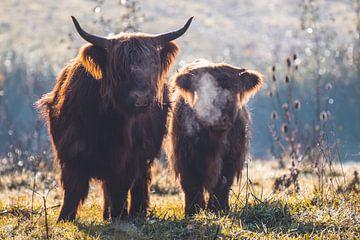 Schotse Hooglanders van Photography by Cynthia Frankvoort