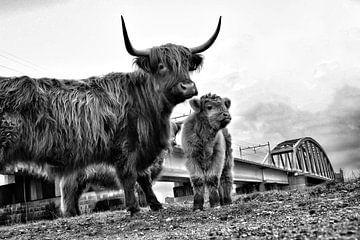 Schottischer Highlander bei Nijmegen von Teun Gerritsen