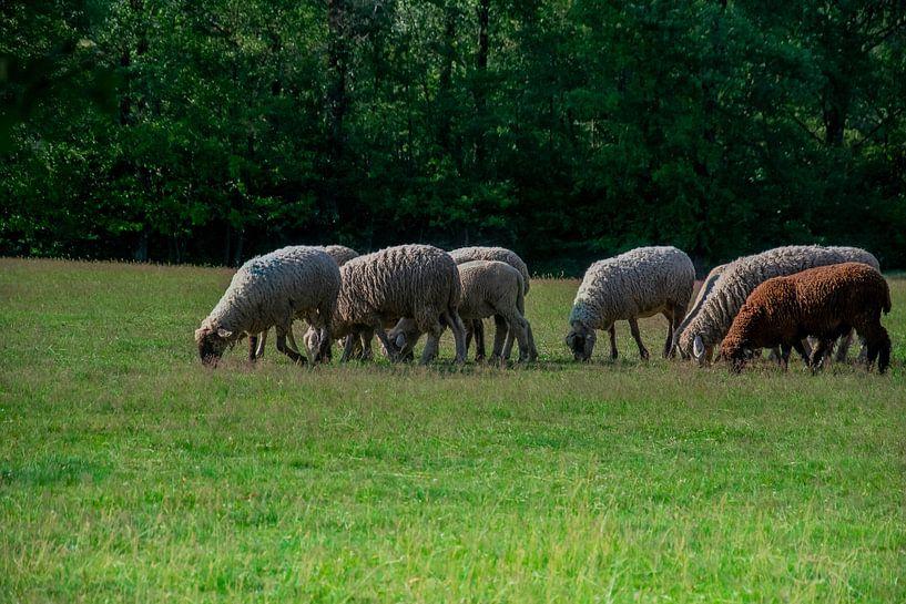 Schafe in der Heide von Joerg Keller