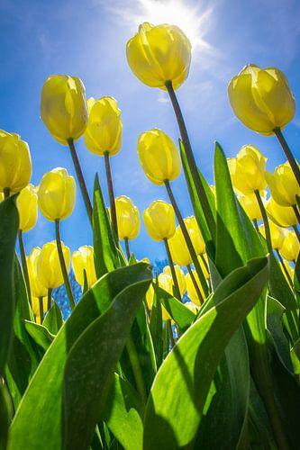 Gele tulpen in de lentezon