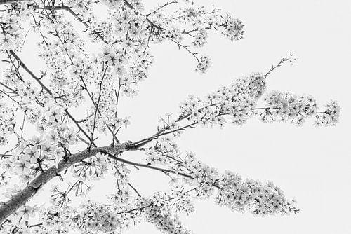Lente! De kersenbomen bloeien in zwart-wit