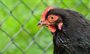 poulet noir, gros plan sur joyce kool