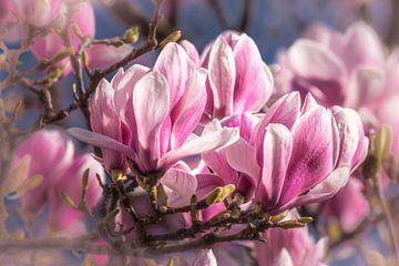 Blütenblätter der Magnolie im Frühling von Dieter Walther
