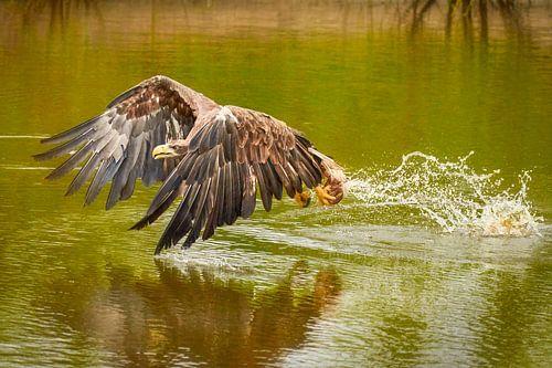 Europese Zeearend in volle vlucht pakt de roofvogel zijn prooi uit het groene water.