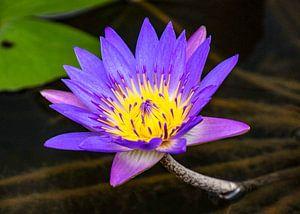 Blauwe Lotus in bloei