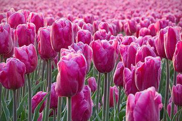 Veld met roze tulpen van Ton van Waard - Pro-Moois