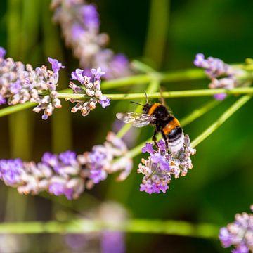 Eine Biene nähert sich von Reismaatjes XXL