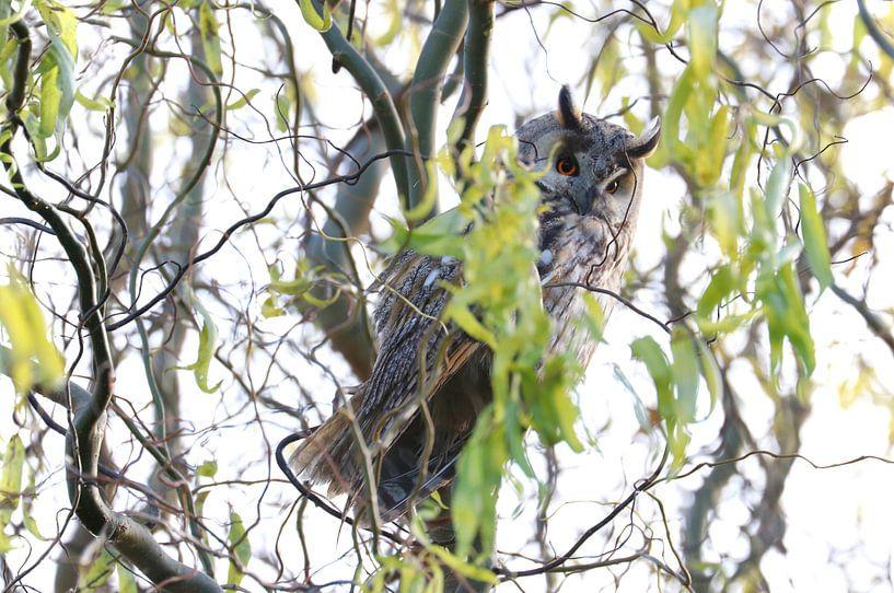 Hibou des marais sur Marjo Snellenburg