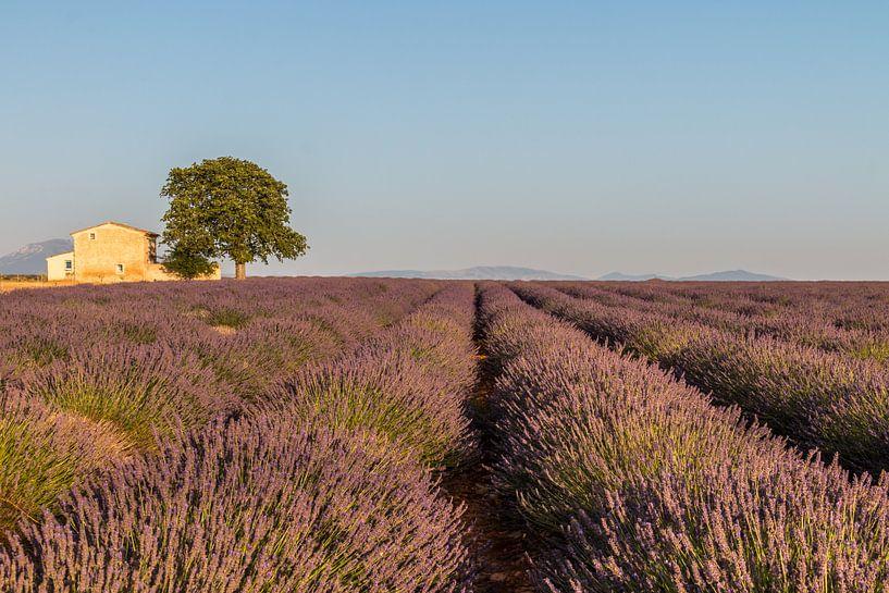Lavendelveld Zuid Frankrijk van Riccardo van Iersel
