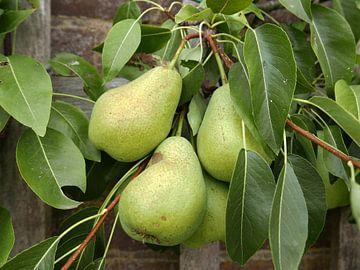 Gros plan de trois poires à feuilles sur un arbre en ardoise