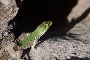 Salamander von Emma Wilms