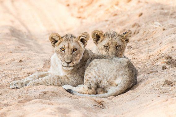 Leeuwen welpjes in Namibie  van Thomas Bartelds