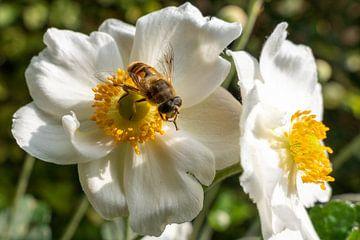 Blinde Biene auf Anemone von Lieven Tomme