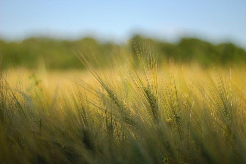 Getreidefeld von Florian Kampes