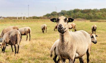 Neugierige Schafe in den Dünen von Percy's fotografie