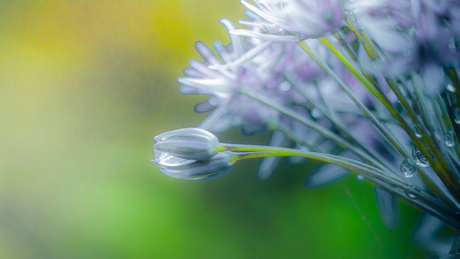 Allium von Holger Debek