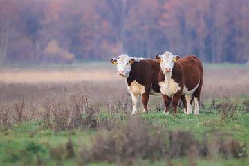 Koeien duo van
