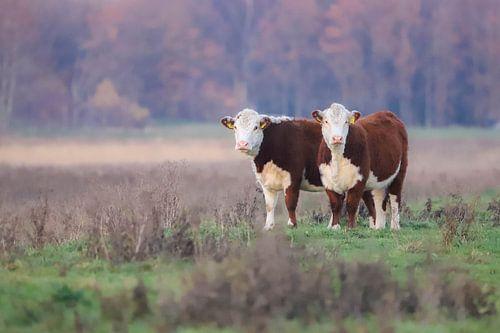 Koeien duo
