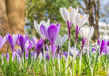 Weiße und lila Krokusse im grünen Gras von Marc Venema