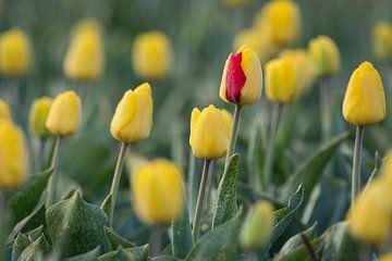 Rot oder gelb? von Max ter Burg Fotografie