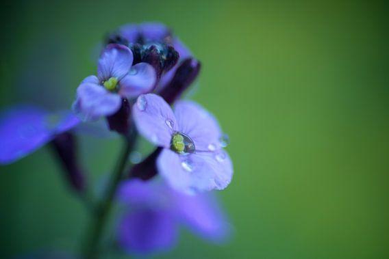 druppels op blauwe bloem van Eveline Lenderink