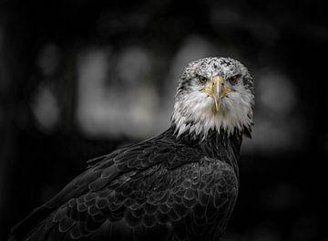 Seeadler von Alex Hiemstra