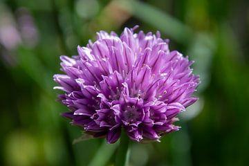 Schnittlauch Blume von Ton van Waard - Pro-Moois