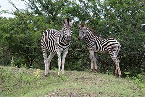 wild zebra in kruger national park