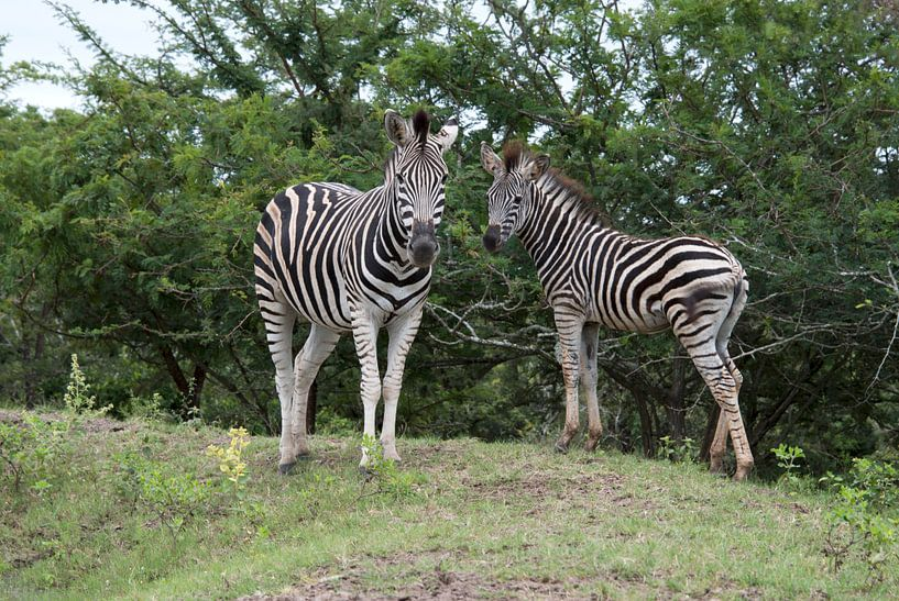 wild zebra in kruger national park van Compuinfoto .