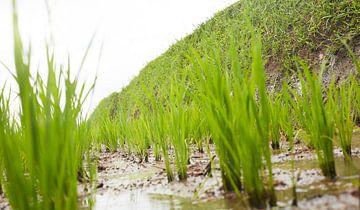 In het rijstveld van