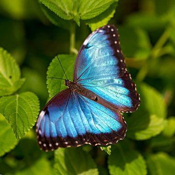 peleides blue morpho van gea strucks