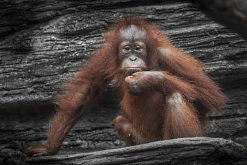 Droevige roodharige tiener orang-oetan kijkt je recht aan. armen - benen, weelderige vacht van Michael Semenov