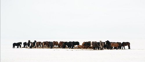 IJslandse Paarden van