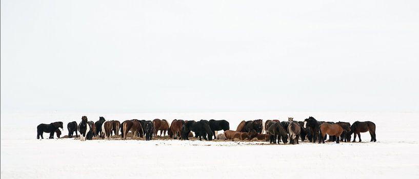 IJslandse Paarden van Menno Schaefer
