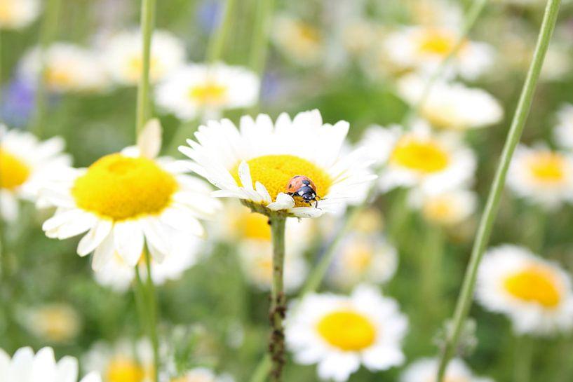 lieveheersbeestje op margriet van Saimi Triemstra