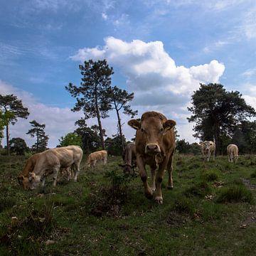 koeien in landschap, Strijbeek, Strijbeekse heide, Noord-Brabant, Holland, Nederland afbeelding koei van Ad Huijben