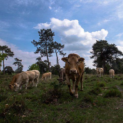 koeien in landschap, Strijbeek, Strijbeekse heide, Noord-Brabant, Holland, Nederland afbeelding koei
