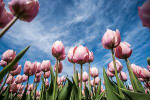Roze tulpen in het veld van