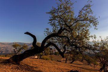 Ein Mandelbaum in Andalusien, Spanien. von Coos Photography