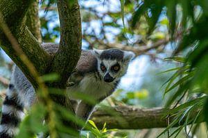 Nieuwsgierig aapje. van