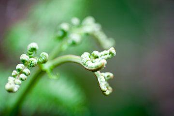 Farne mit gekräuselten Blättern, Nahaufnahme von Edith Wijte