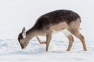 Junger Damhirsch im Schnee von Diantha Risiglione