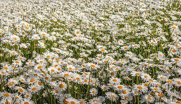 In der Nähe blühende Gänseblümchen von Ruud Morijn