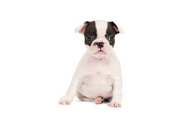 Studioporträt eines französischen Bulldoggen-Welpen in Schwarz-Weiß vor weißem Hintergrund sitzend von Leoniek van der Vliet
